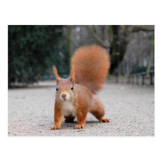 Rotes Eichhörnchen Postkarten