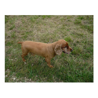 rotes Englisch cocker spaniel full.png Postkarte