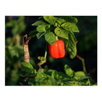 rotes habanerno heißer Pfeffer gegen Blätter Postkarte