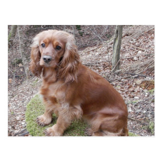 rotes volles cocker-spaniel.png postkarte