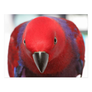 Rotes weibliches Haustier Postkarte Eclectus