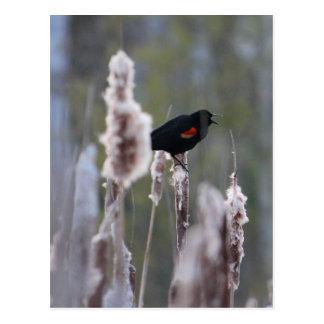 Rotgeflügelte Amsel (Agelaius phoeniceus) Postkarte