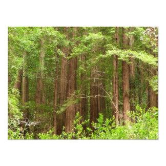 Rotholz-Bäume am Muir Holz-nationalen Monument Fotodruck