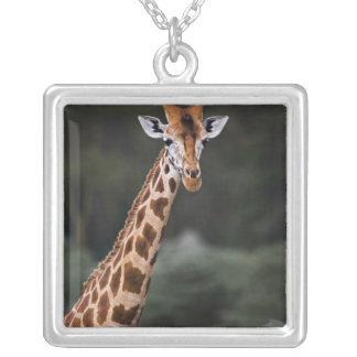 Rothschilds Giraffe, See Nakuru Nationalpark, Versilberte Kette