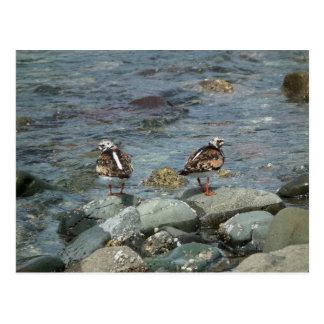Rötlicher Turnstone (Arenaria interpres). Postkarte