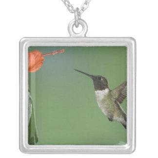 Rubin-throated Kolibri, Archilochus Versilberte Kette