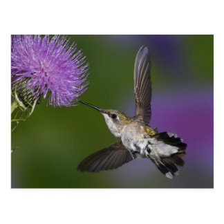 Rubin-throated Kolibri im Flug an Distel 2 Postkarte