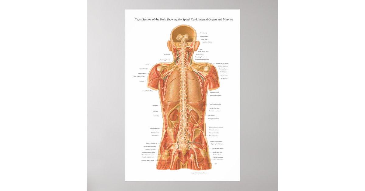 Fantastisch Anatomie Und Physiologie Poster Zeitgenössisch ...