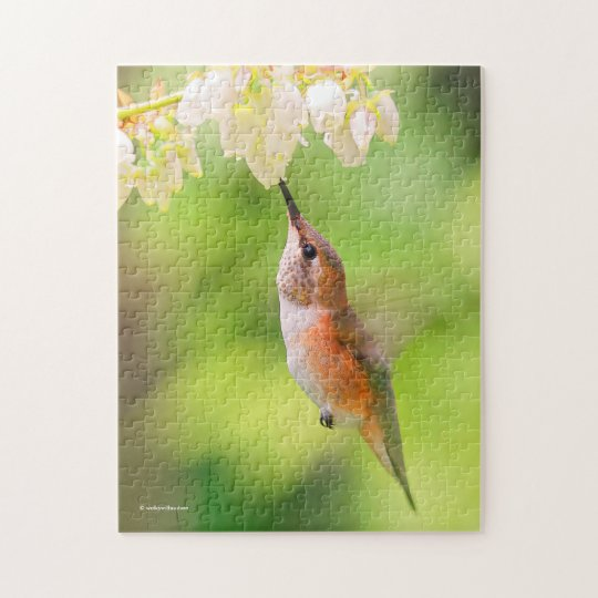 Rufous Kolibri nippt an Blaubeerblüten-Nektar Puzzle