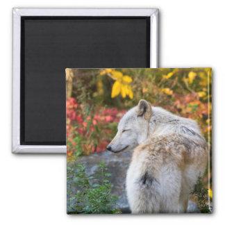 Ruhiger Herbst-Wolf Quadratischer Magnet