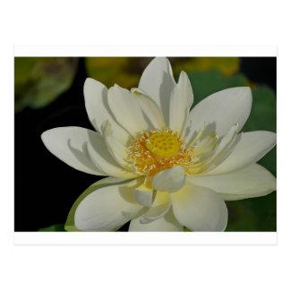 Sahniges Wasser Lily.JPG Postkarte