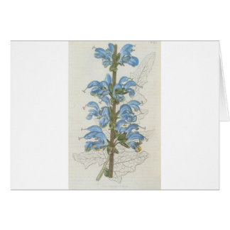 Salvia Barrelieri Karte