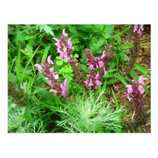 Salvia und Artemesia Postkarte