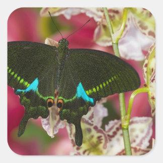 Sammamish, tropischer Schmetterling 14 Washingtons Quadrat-Aufkleber