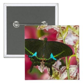 Sammamish, tropischer Schmetterling 14 Washingtons Buttons