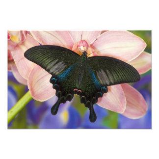 Sammamish, tropischer Schmetterling 23 Washingtons Photodruck