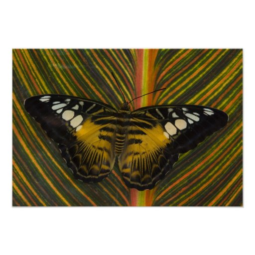 Sammamish, tropischer Schmetterling 25 Washingtons Plakatdruck