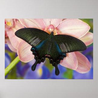 Sammamish, tropischer Schmetterling 6 Washingtons Plakatdrucke