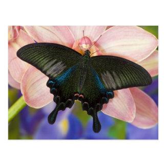 Sammamish, tropischer Schmetterling 6 Washingtons Postkarten