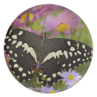 Sammamish, tropischer Schmetterling 8 Washingtons Flache Teller