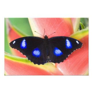 Sammamish, Washington. Tropische Schmetterlinge 24 Kunst Photo
