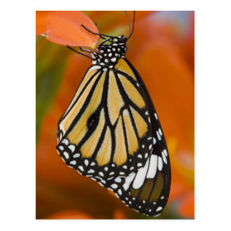 Sammamish, Washington. Tropische Schmetterlinge 2 Postkarte