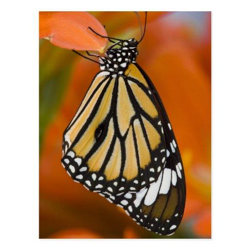 Sammamish, Washington. Tropische Schmetterlinge 2 Postkarten