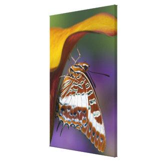 Sammamish, Washington. Tropische Schmetterlinge 3 Gespannte Galeriedrucke