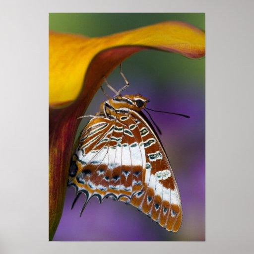 Sammamish, Washington. Tropische Schmetterlinge 4 Plakat