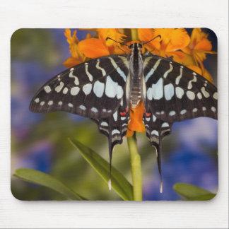Sammamish, Washington. Tropische Schmetterlinge 50 Mauspad