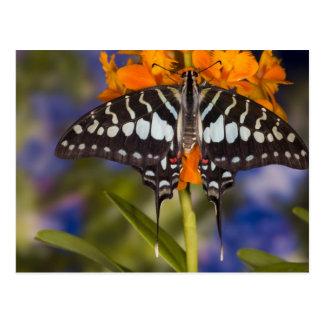 Sammamish, Washington. Tropische Schmetterlinge 50 Postkarte