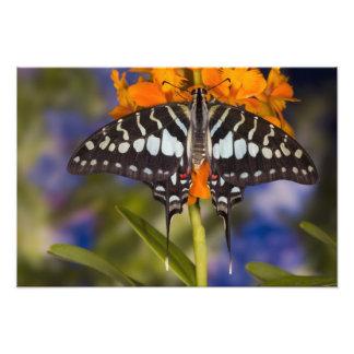 Sammamish, Washington. Tropische Schmetterlinge 54 Kunstphotos