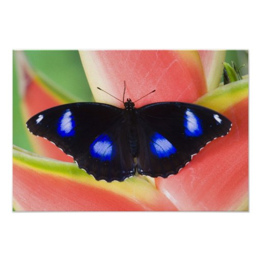 Sammamish, Washington. Tropische Schmetterlinge 58 Plakatdrucke