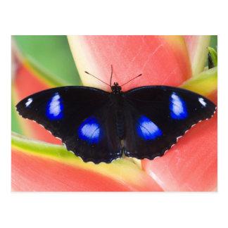 Sammamish, Washington. Tropische Schmetterlinge 58 Postkarte
