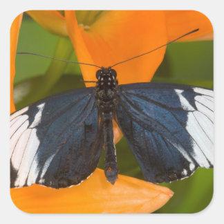 Sammamish, Washington. Tropische Schmetterlinge 59 Quadratsticker