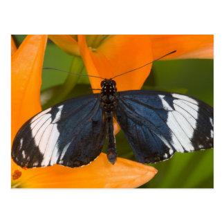 Sammamish, Washington. Tropische Schmetterlinge 59 Postkarten