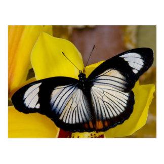 Sammamish, Washington. Tropische Schmetterlinge 62 Postkarte