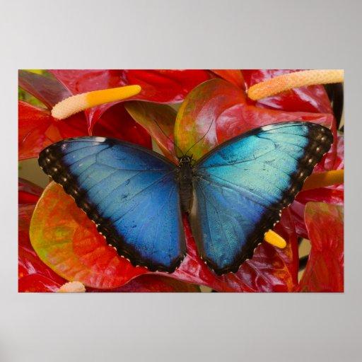 Sammamish Washington tropischer Schmetterling 8 Plakatdrucke