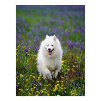 Samoyed-Hund Postkarte