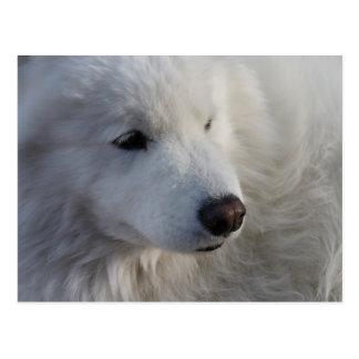 Samoyed-Hundepostkarte Postkarte