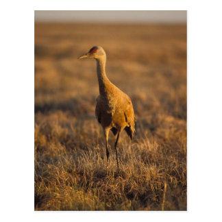 sandhill Kran, Grus canadensis, 1002 Postkarte