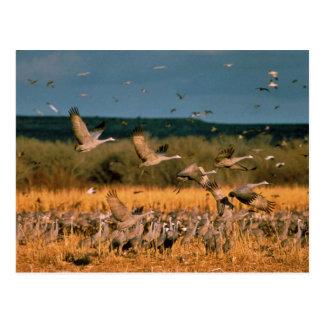 Sandhill Kräne Postkarte