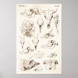Schädel Säugetier-des Poster