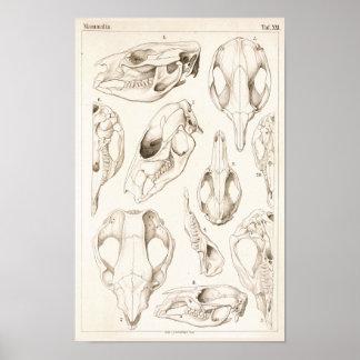 Schädel Säugetier-des Veterinäranatomie-Druckes Poster