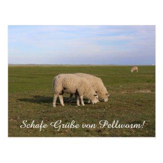 Schafe Grüße von Pellworm! Postkarte
