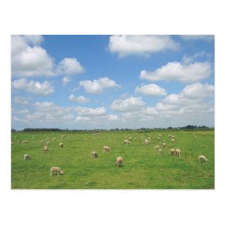 Schafe in der Wiesen-Postkarte Postkarte