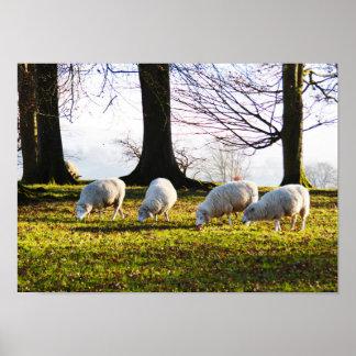 Schafe in der Wintersonne Poster