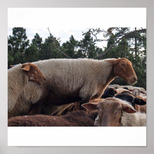 Schafe Poster