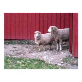 Schafe Postkarte