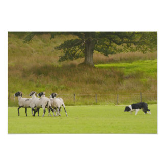 Schäferhund, der Schaf-Plakat in Herden lebt Poster